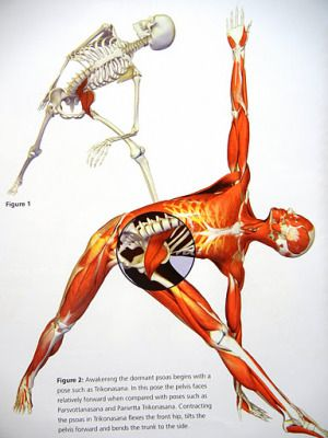 Psoasmajor Muscle