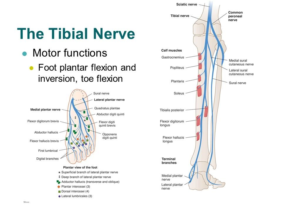 Diagram tibial nerve foot