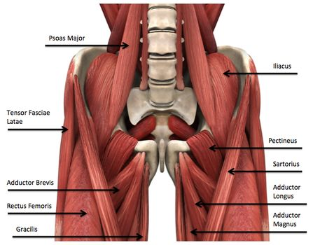 Muscle of hip joint